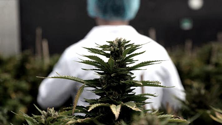 mendoza-incorpora-el-cultivo-de-cannabis-a-sus-actividades-productivas