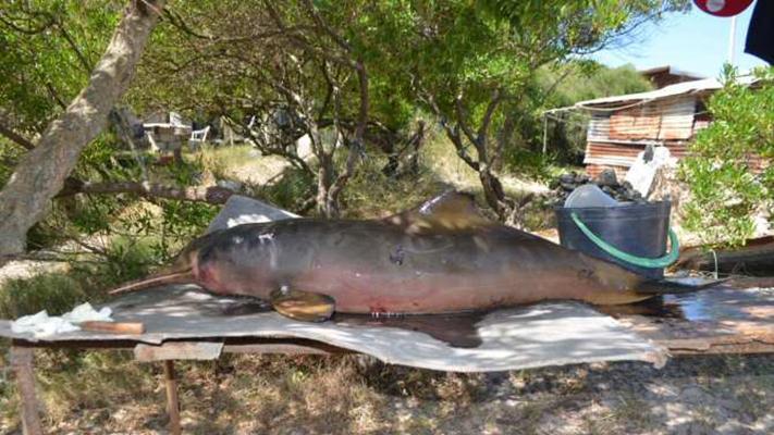 analizan-la-contaminacion-que-afecta-al-delfin-franciscana