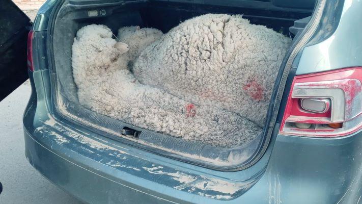 llevaban-tres-ovejas-vivas-en-el-baul-y-los-detuvieron-por-abigeato