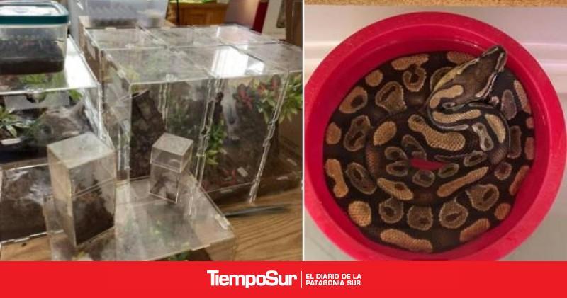 encontro-19-tarantulas-y-una-piton-mientras-limpiaba-su-casa