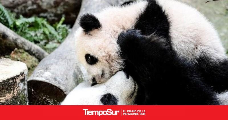 el-panda-gigante-no-esta-en-peligro-de-extincion,-pero-sigue-siendo-vulnerable